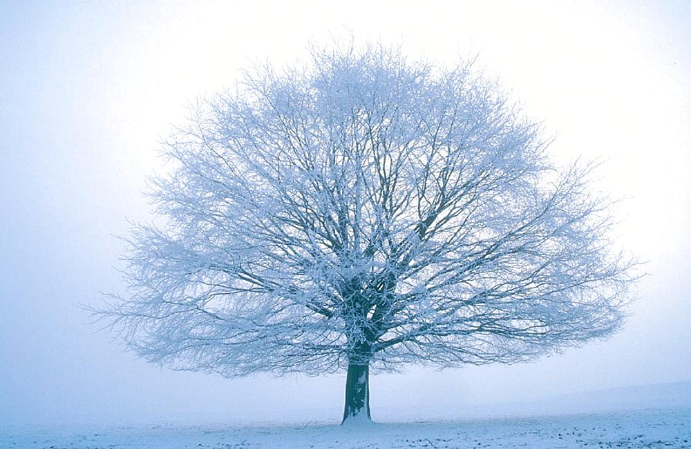 Beech tree in winter (Fagus sylvatica), Hoar frost on branches, Derbyshire, UK