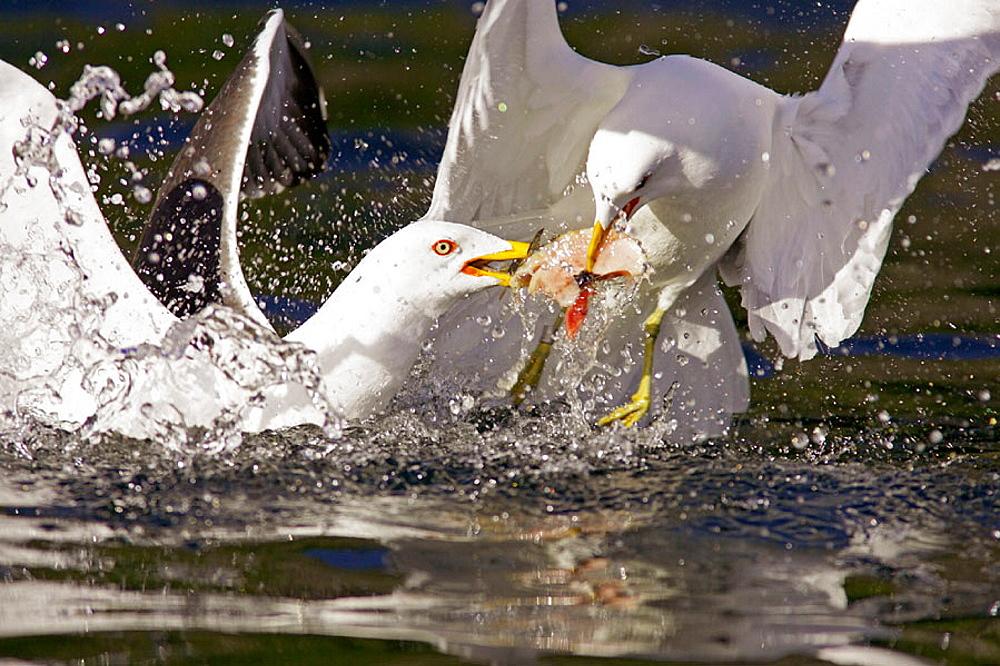 Great Black-backed Gull (Larus marinus) fighting over fish scraps, Norway.