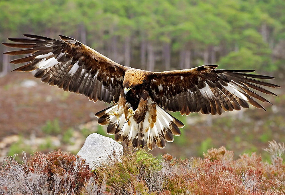 Golden Eagle (Aquila chrysaetos) adult alighting on rock on heather moorland (captive-bred), Scotland, UK.
