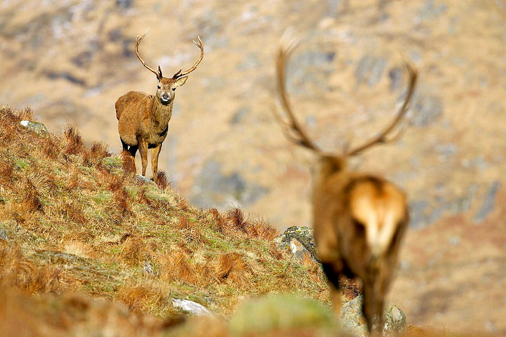 Red Deer (Cervus elaphus) stag approaching smaller rival stag, Scotland.
