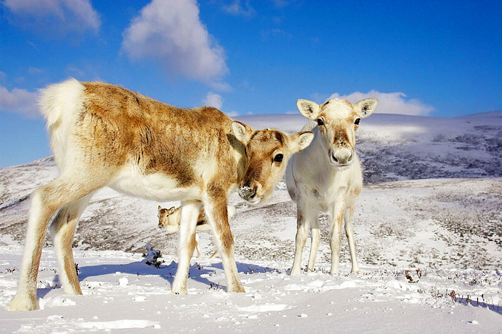 Reindeer (Rangifer tarandus) two youngsters in winter, Cairngorms National Park, Scotland