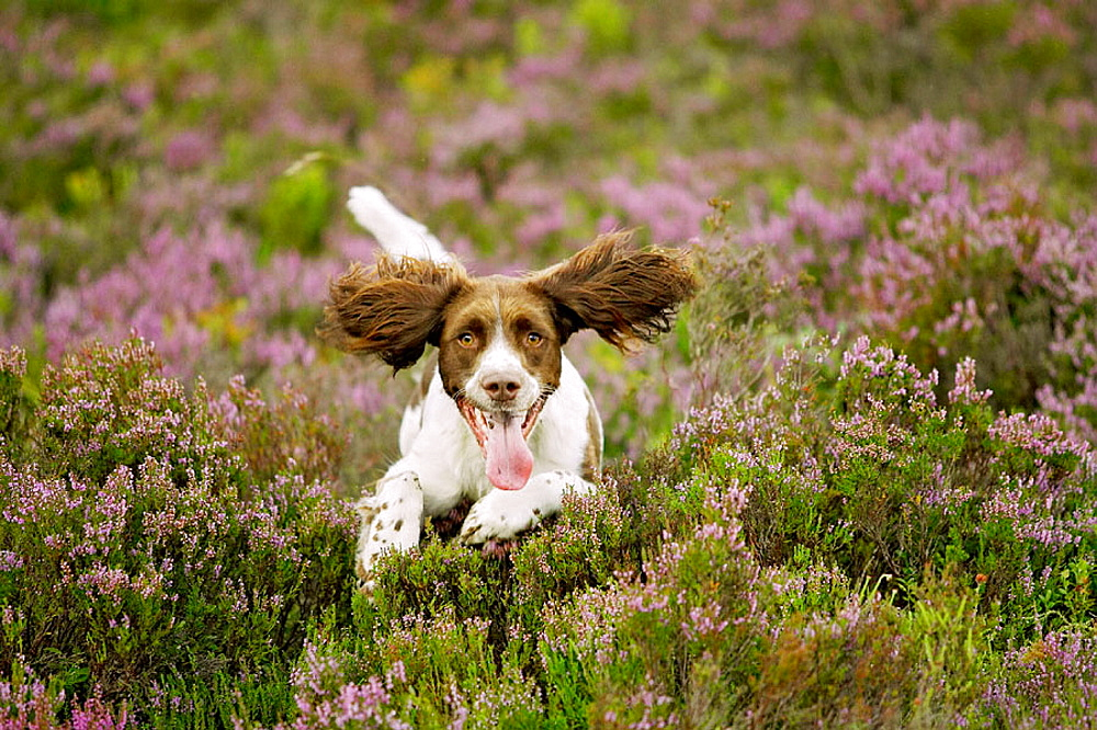 English Springer Spaniel dog running across heather moor in late summer, Scotland. - 817-106294