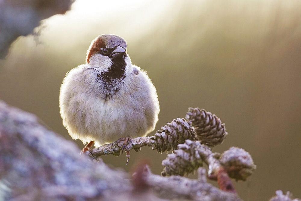 House Sparrow (Passer domesticus) adult male perched, Scotland, April 2006. - 817-106377