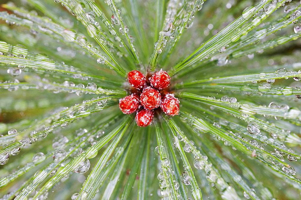 Scot's Pine - Pinus sylvestris - close-up of dew covered sapling Scotland October 2006