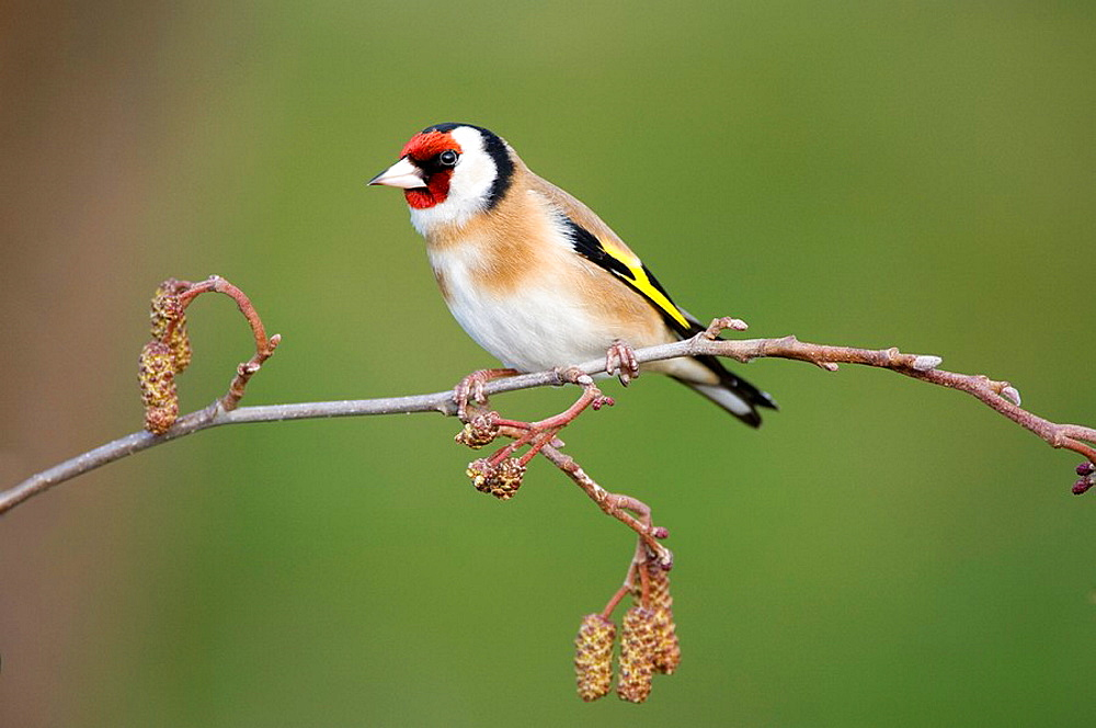 Goldfinch Carduelis carduleis adult perched on alder catkins Scotland March