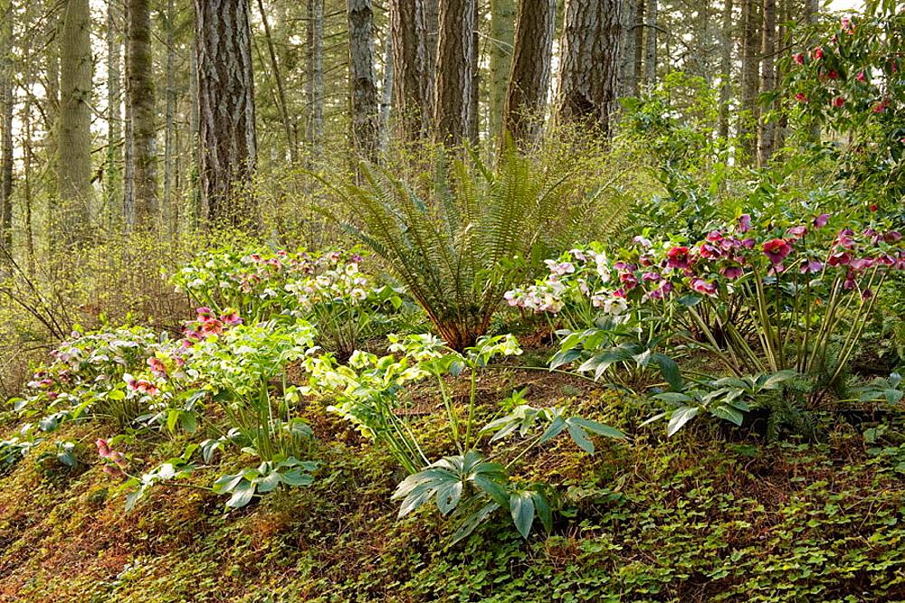 Hellebores & Sword Fern in woodland garden (Helleborus x hybridus; Polystichum munitum), Weesjes, Sidney, BC.