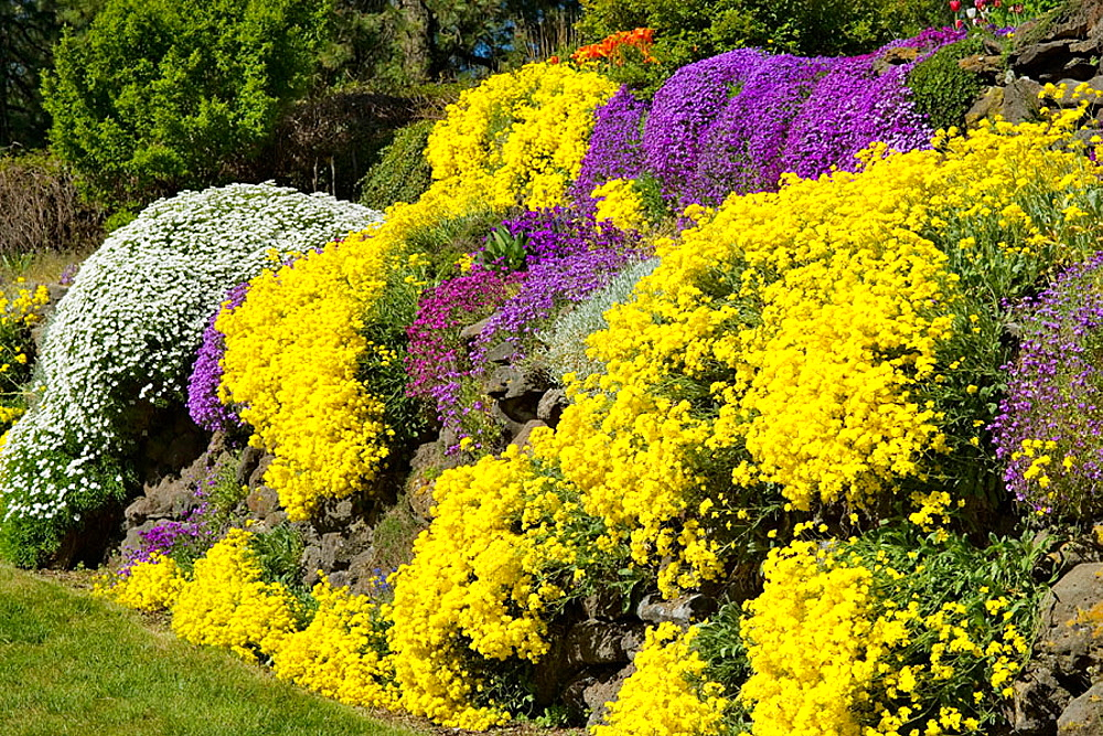 Basket of Gold, Evergreen Candytuft, Purple Aubrieta cascade over sunny rock wall (Aurinia saxatilis; Iberis sempervirens; Aubrieta deltoides), Spokane, Manito Park, WA.