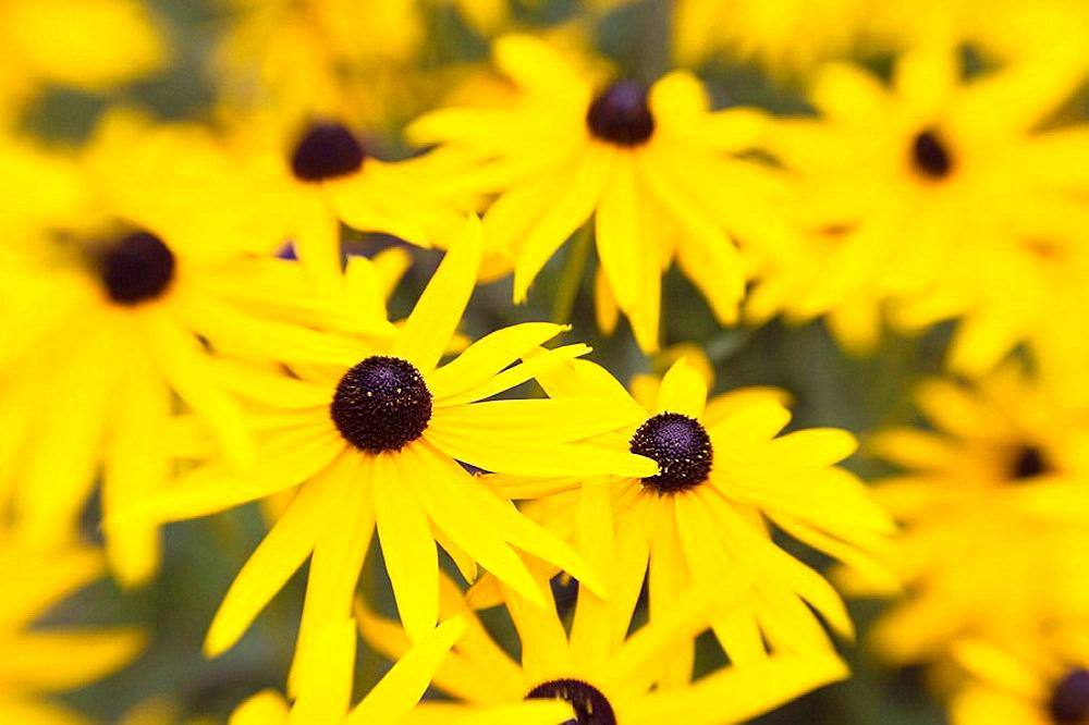 'Goldsturm' Black-eyed Susans soft focus effect Rudbeckia fulgida var sullivantii 'Goldsturm'