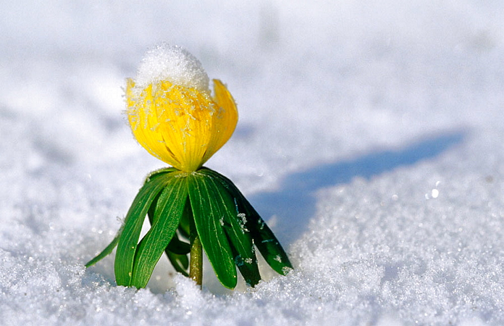 Winter aconite (Eranthis hyemalis) single plant, Lubeck, Germany - 817-107786