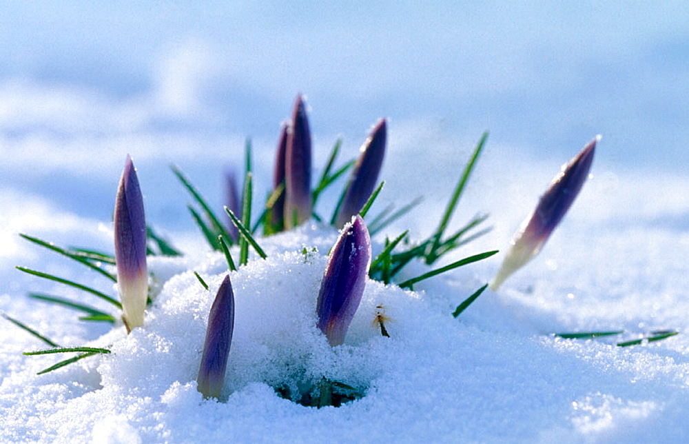 Crocus (Crocus vernus), Group in fresh snow, Lubeck, Germany - 817-107790