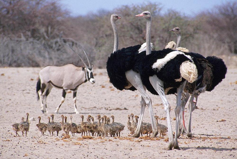 Ostriches (Struthio camelus), Etosha National Park, Namibia