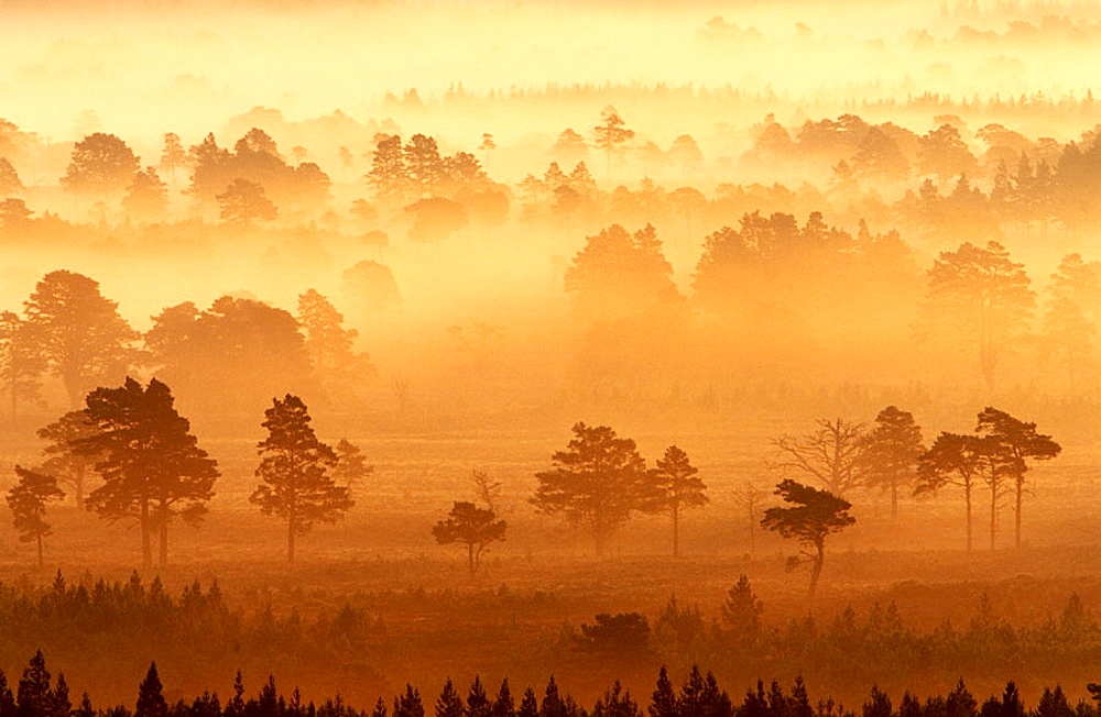 Rothiemurchus forest at dawn, Spey Valley, Caledonian Forest, Scotland - 817-10855