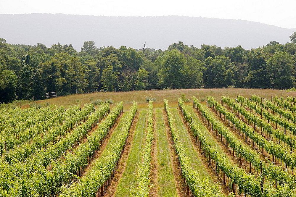 Notaviva Vineyards, wine, grape, field, vines, row, agriculture, rural, mountain, Purcellville, Virginia, USA
