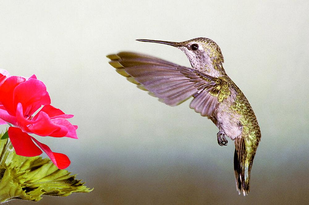 Anna's Hummingbird (Calypte anna), earlyevening feeding at the blossoms of a geranium plant, Grass Valley, California, USA