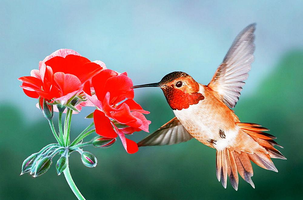 Rufous Hummingbird, Male, and red geranium