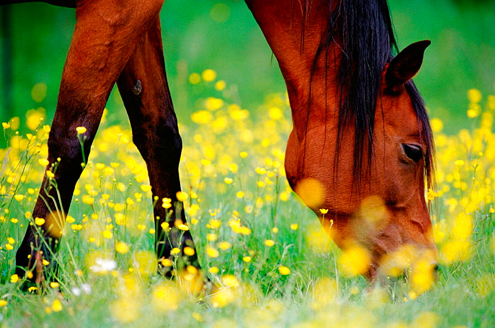 Horse grazing on a meadow with flowering buttercups, close-up, Medle, Vasterbotten, Sweden