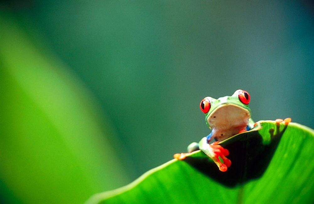 Red-eyed tree frog (Agalychnis callidryas) behind a leaf, Selva Verde, Costa Rica