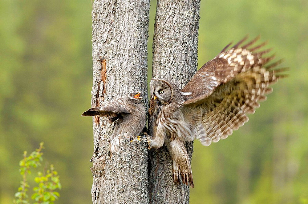 Great Grey Owl (Strix nebulosa) feeding its young, Vasterbotten, Sweden (June, 2005)