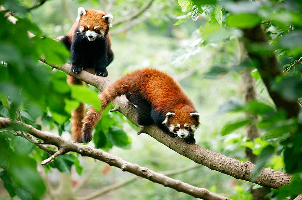 Red Panda (Ailurus fulgens) at the Giant Panda Breeding Center of Chengdu, Sichuan, China - 817-113802