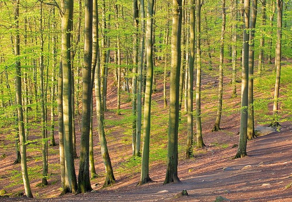 European Beech forest (Fagus sylvatica) in spring, Skv•ne National Park, Skv•ne, Sweden
