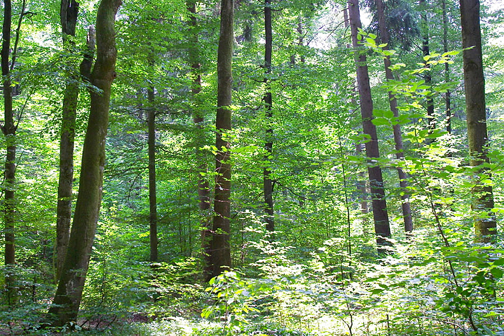 Mixed forest in Bavaria, Germany