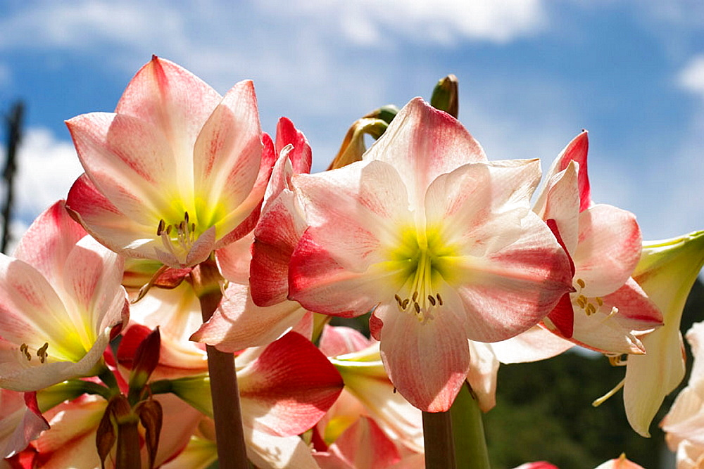 Bloom of Amaryllis, La Gomera, Canary Islands, Spain - 817-115665