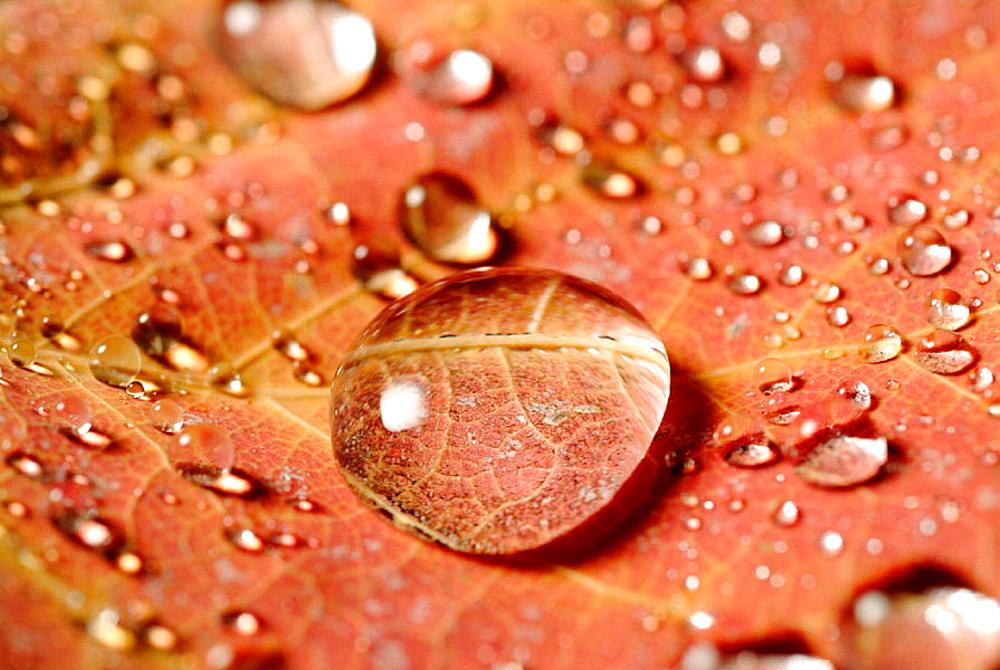 Dew on autumn leaf