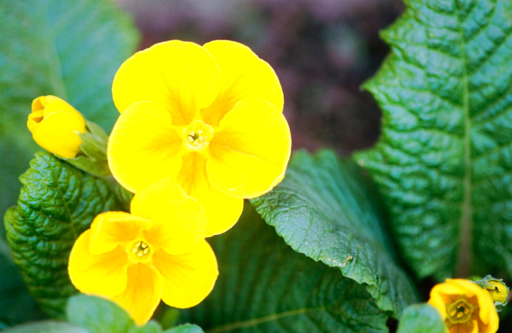 Primose (Primula sp) Germany