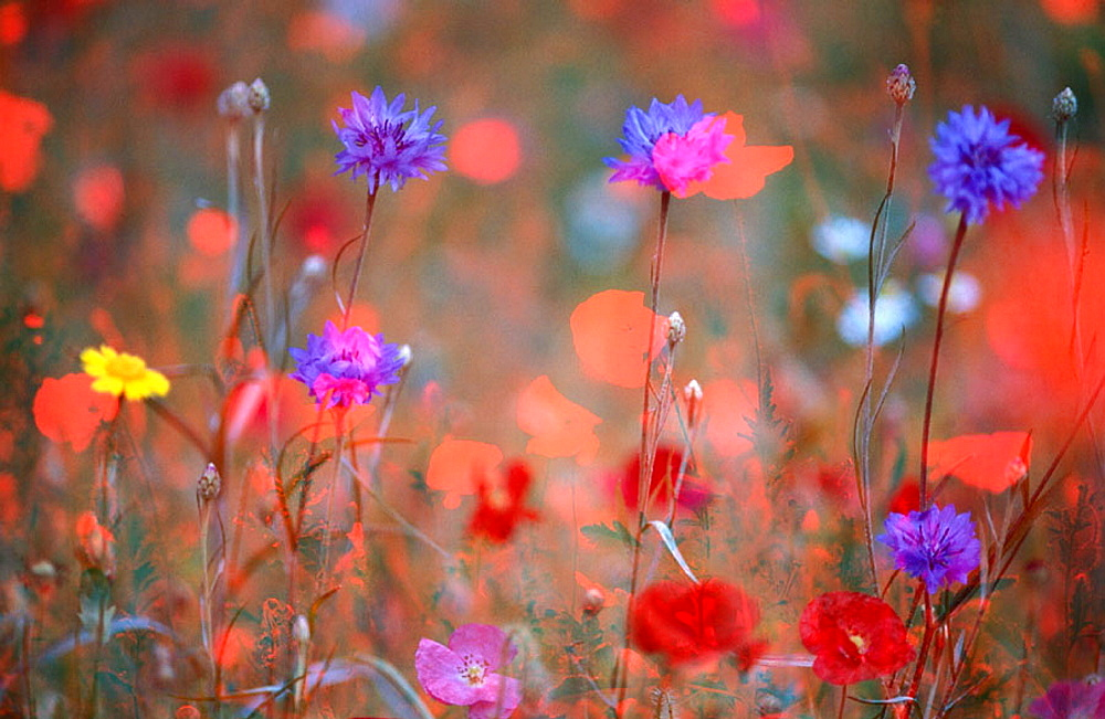 meadow with corn flowers and poppies (Papaver rhoeas), Germany