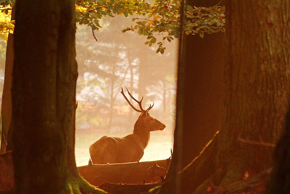 Stag (Cervus elaphus) in autumn forest, Bavaria, Germany