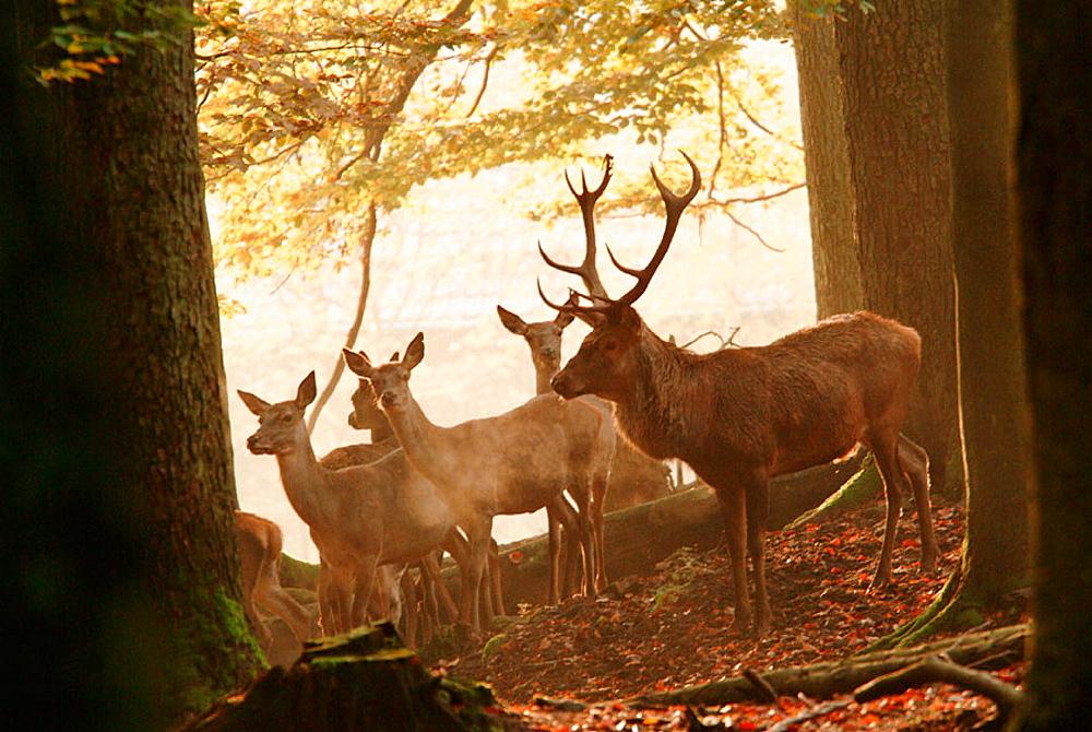 Deer (Cervus elaphus) in autumn forest, Bavaria, Germany