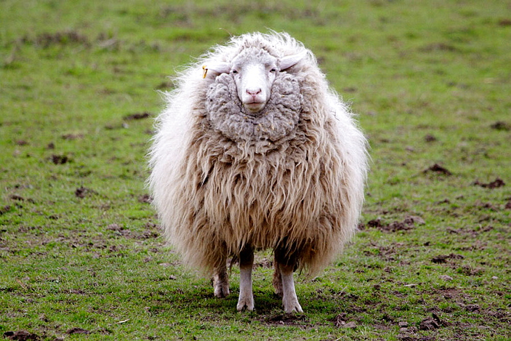 Sheep with thick winter coat standing on a meadow, Upper Palatinate, Bavaria, Germany