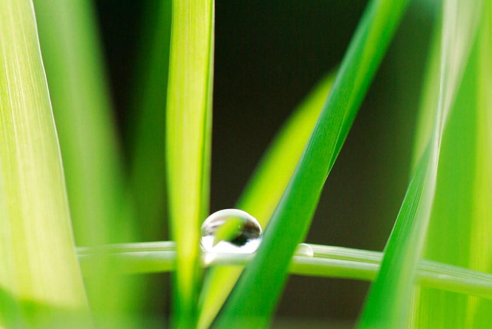 dew drops on wheat grasses (Triticum)