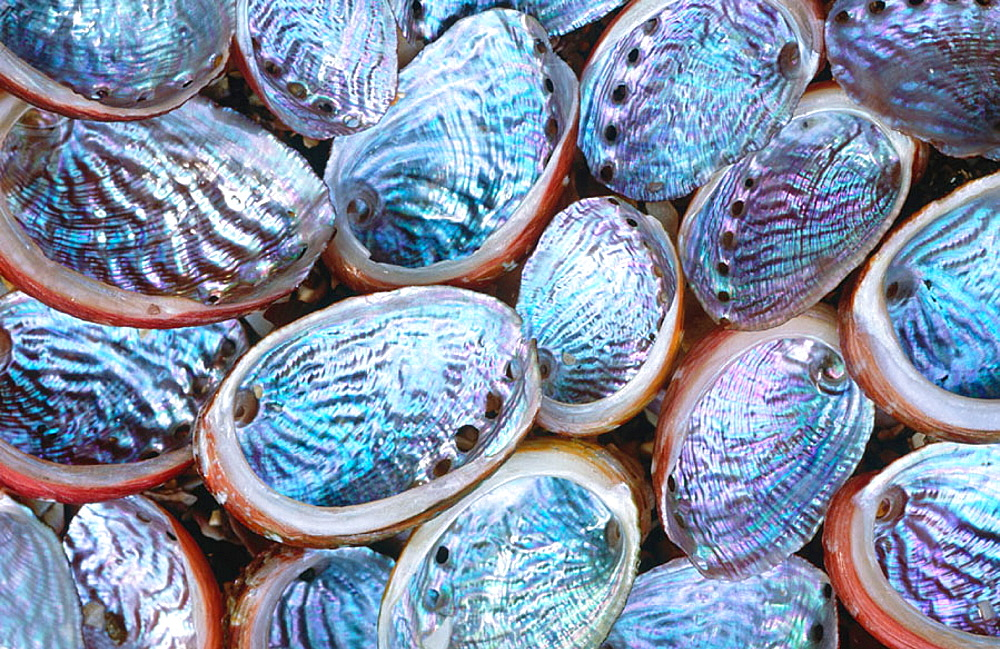 Northern Virgin Paua, Shells (Haliotis virginea cirspata), New Zealand - 817-116698