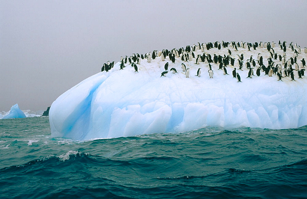 Chinstrap Penguins (Pygoscelis antarctica) ride iceberg, South Sandwich islands, Antarctica - 817-116719