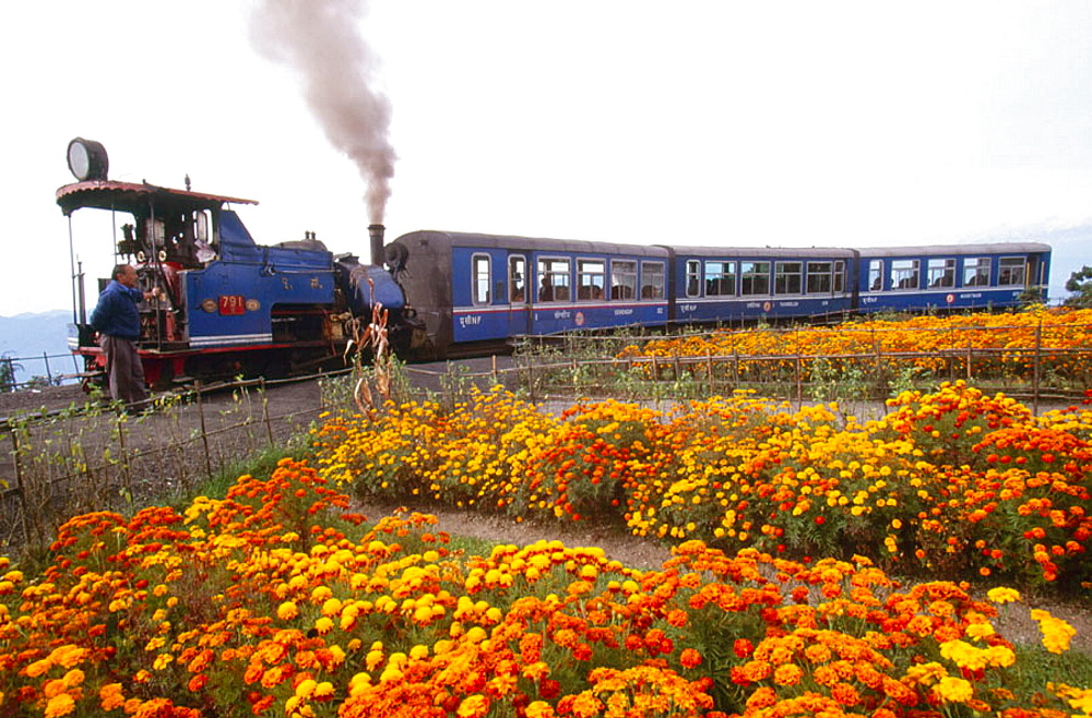 Toy Train runs from Darjeeling to Siliguri, Sikkim, India, Highest steam train in the world stops alongside marigold gardens above Ghoom