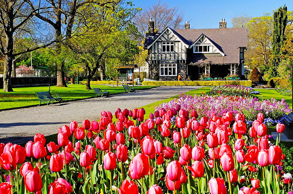 Tulips in spring in Hagley Park Curators House restaurant behind Christchurch New Zealand
