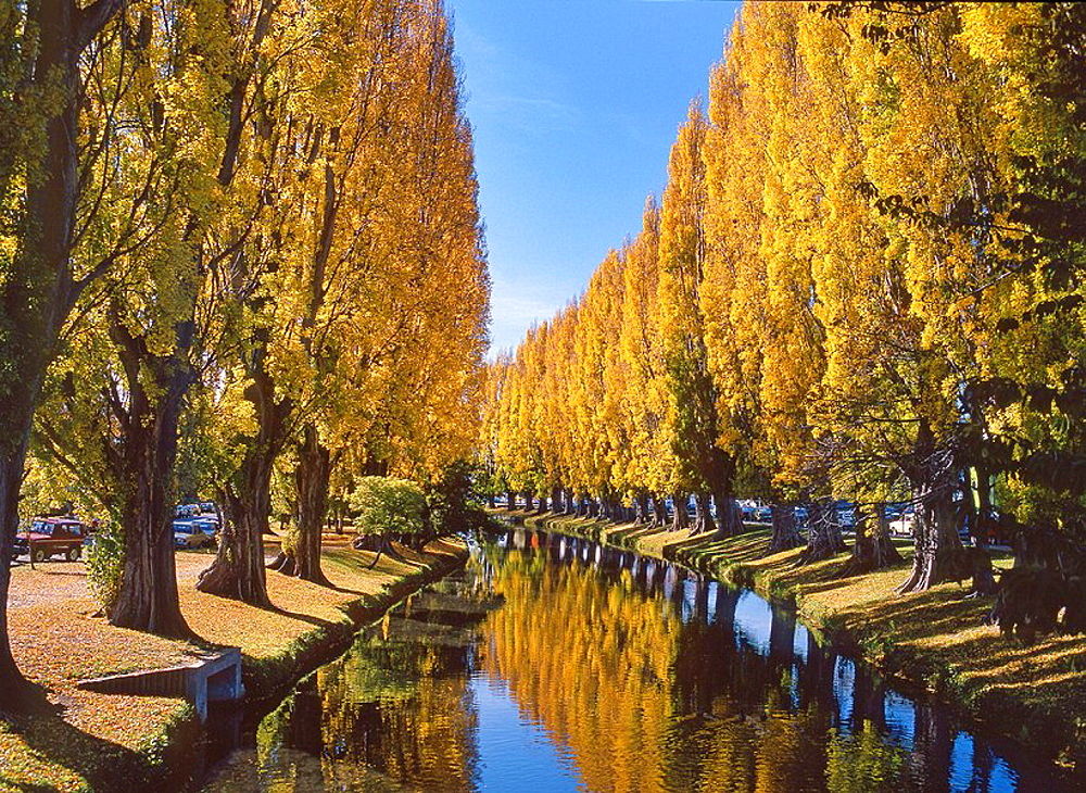 Poplars lining Avon River in autumn Christchurch New Zealand