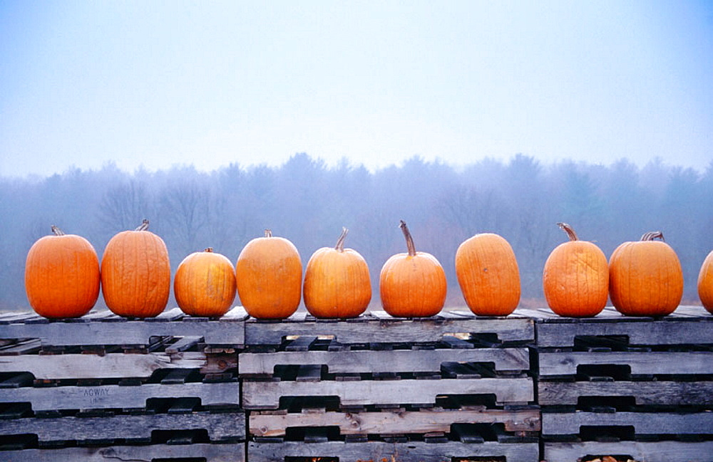 Pumpkins in a row at New England farm
