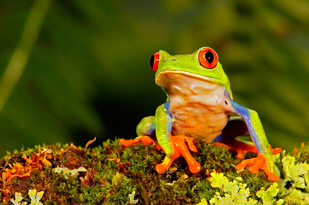 Red-eyed Tree Frog (Agalychnis callidryas), captive