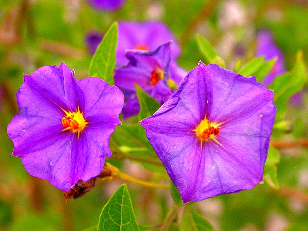 Flowers (Solanum ratonnetii)