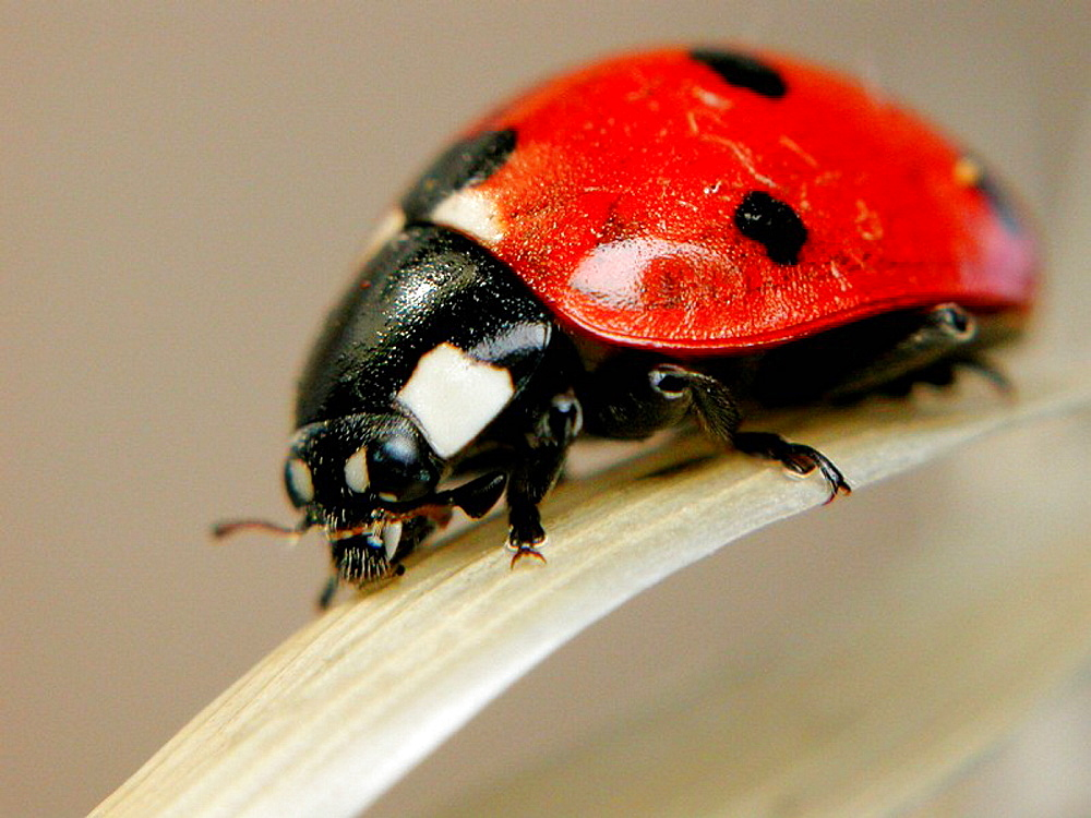 Ladybird (Coccinella septempunctata) - 817-119619