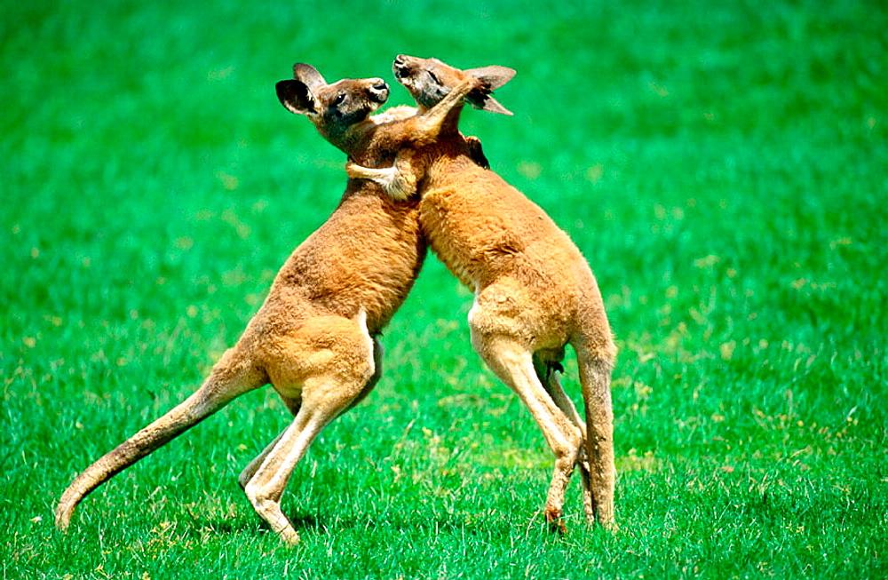 Red Kangaroos fighting, Australia
