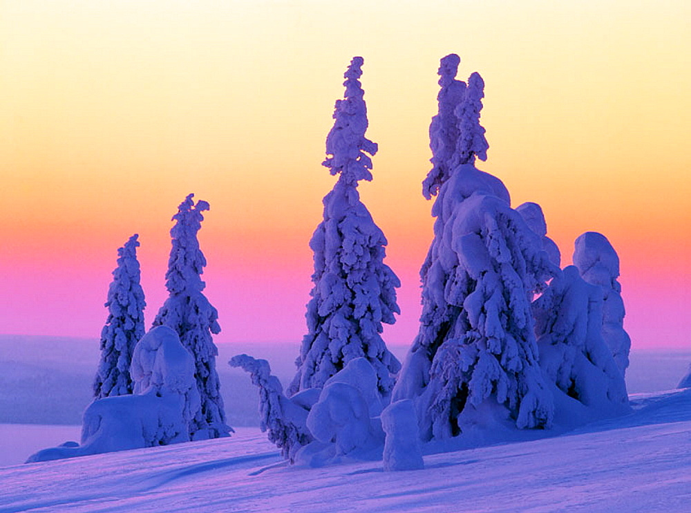 Snowcovered trees, Riisituntiru National Park, Finland.