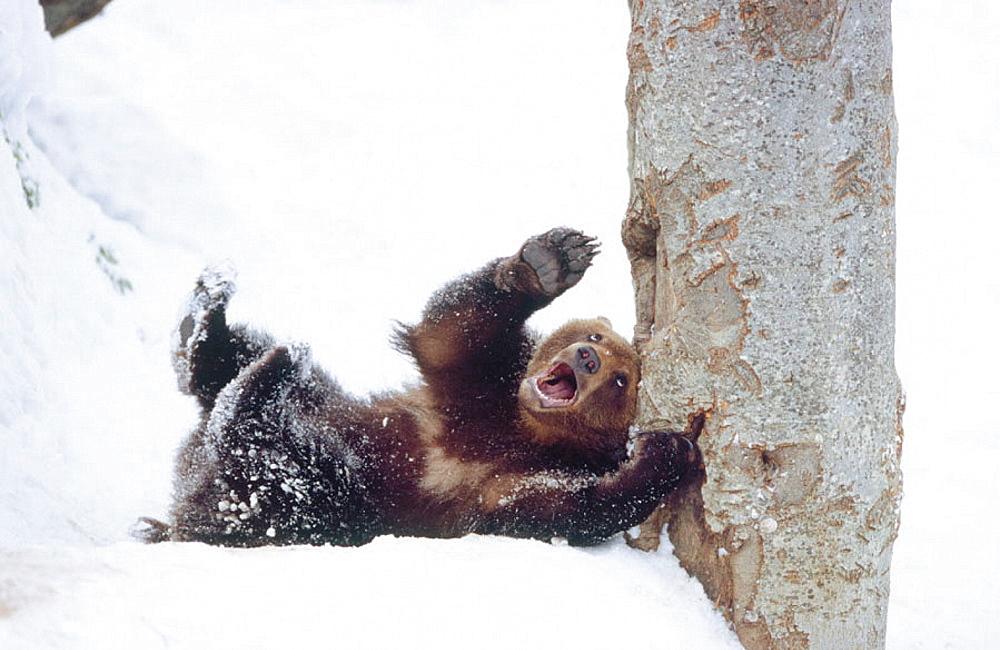 Brown bear (Ursus arctos), Bayerischer Wald National Park, Germany