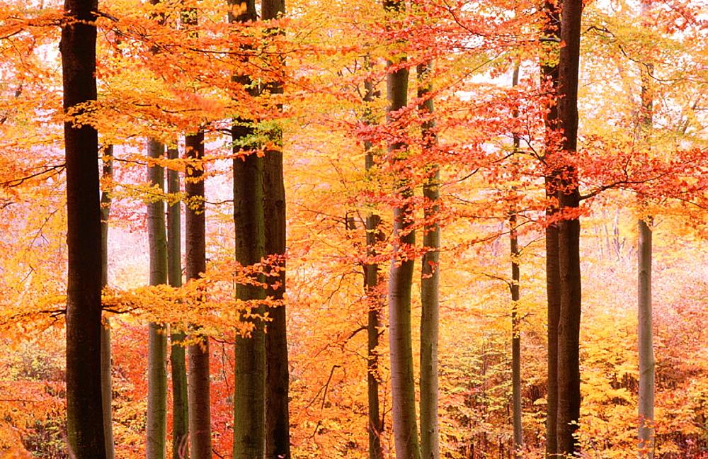 Common Beech (Fagus sylvatica) in Autumn, Spessart, Bavaria, Germany
