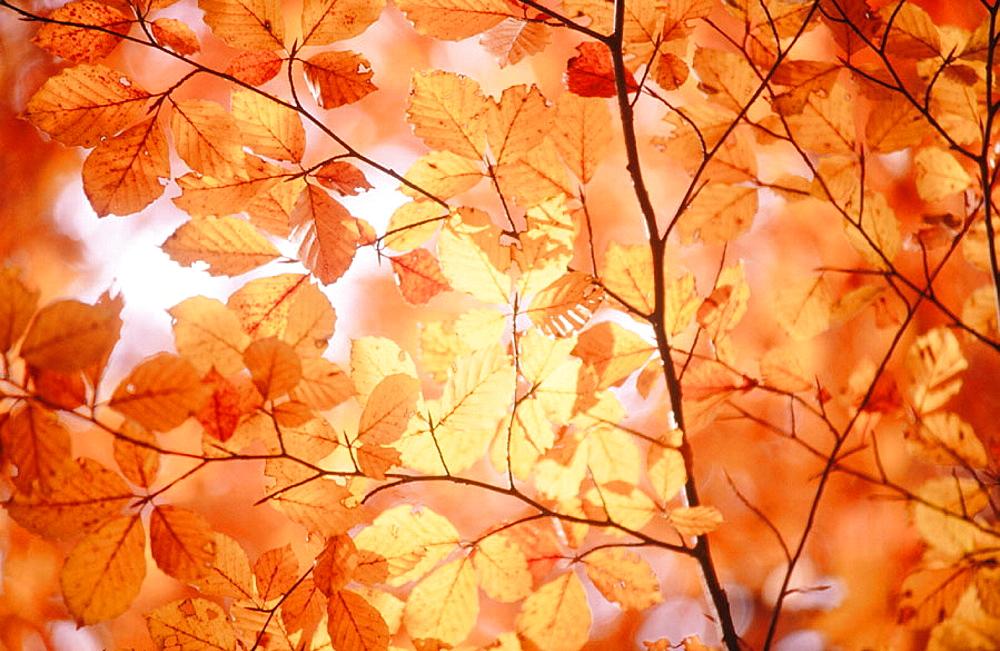 Common Beech (Fagus sylvatica) leaves in Autumn, Spessart, Bavaria, Germany