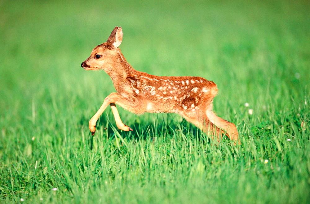 Roe deer fawn (Capreolus capreolus), Bayern, Germany