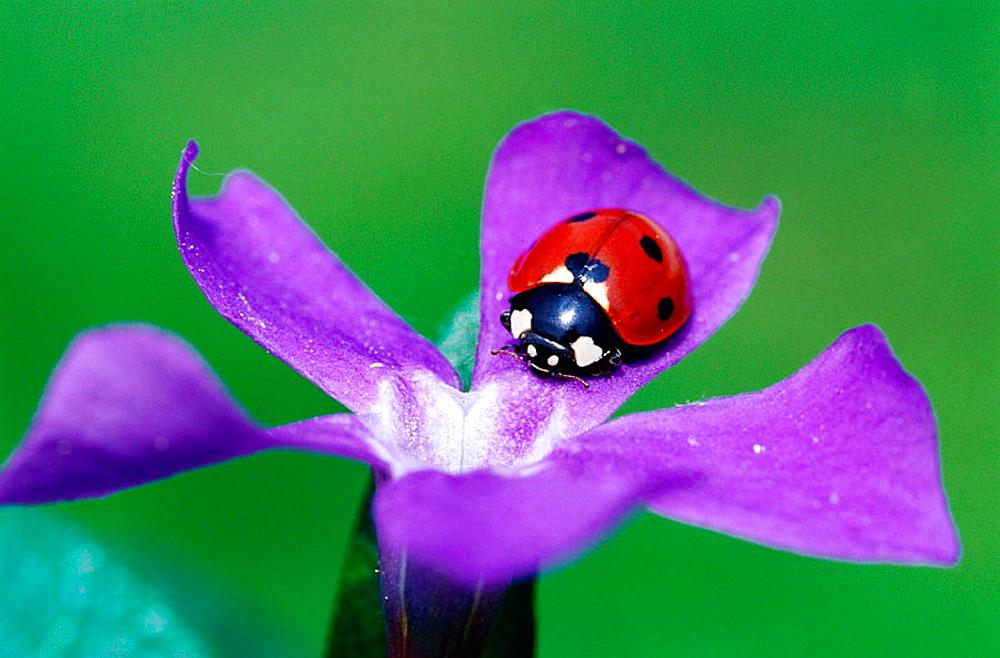 Seven spot ladybird (Coccinella septempunctata), Bavaria, Germany - 817-120764