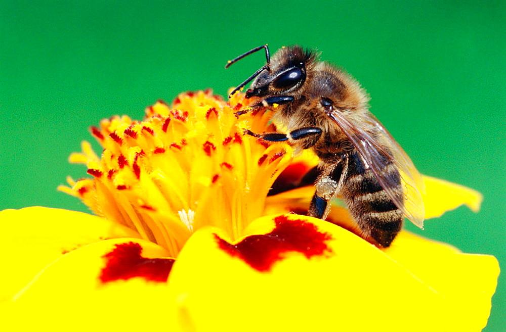 Honey bee (Apis mellifera), Bavaria, Germany
